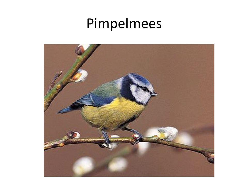 Pimpelmees