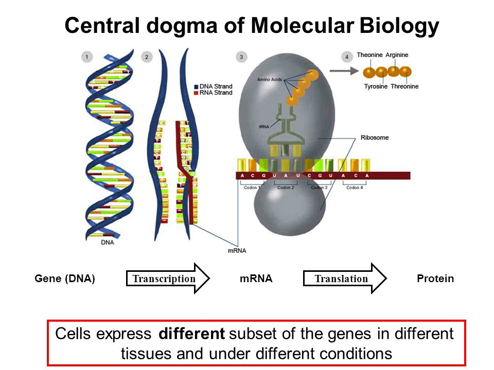 Cells express different subset of the genes in different tissues and under different conditions Gene (DNA)mRNAProtein Central dogma of Molecular Biolo