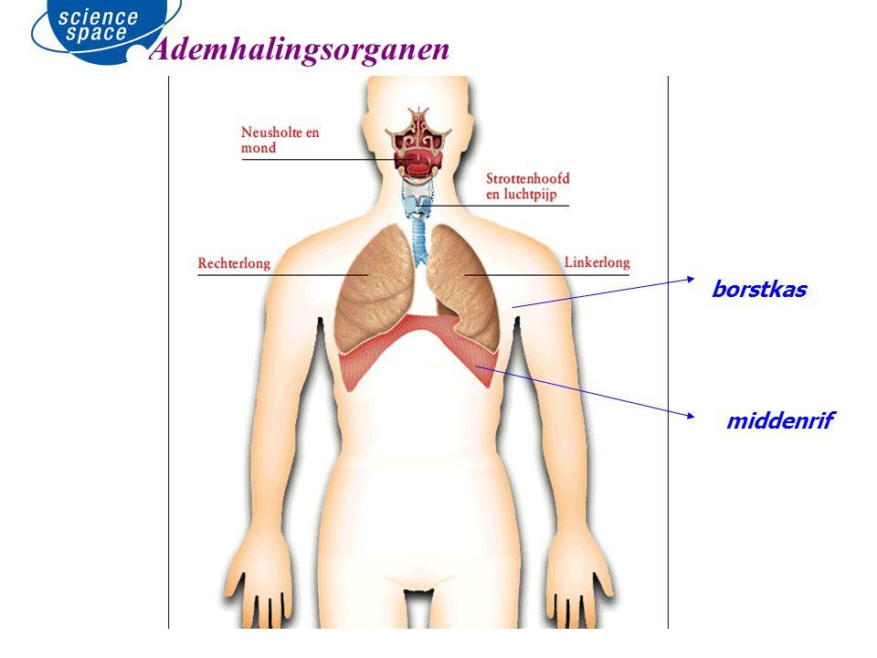 middenrif Ademhalingsorganen borstkas