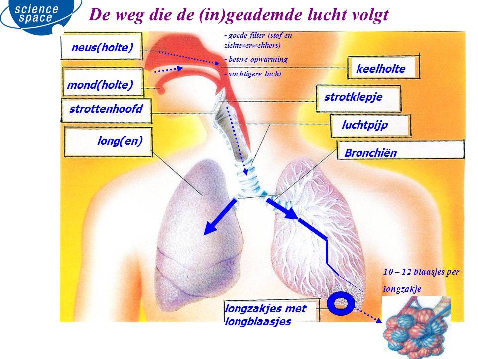 neus(holte) mond(holte) strottenhoofd long(en) keelholte strotklepje luchtpijp Bronchiën longzakjes met longblaasjes 10 – 12 blaasjes per longzakje De