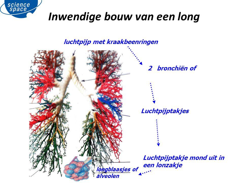 Inwendige bouw van een long luchtpijp met kraakbeenringen 2 bronchiën of Luchtpijptakjes Luchtpijptakje mond uit in een lonzakje longblaasjes of alveo