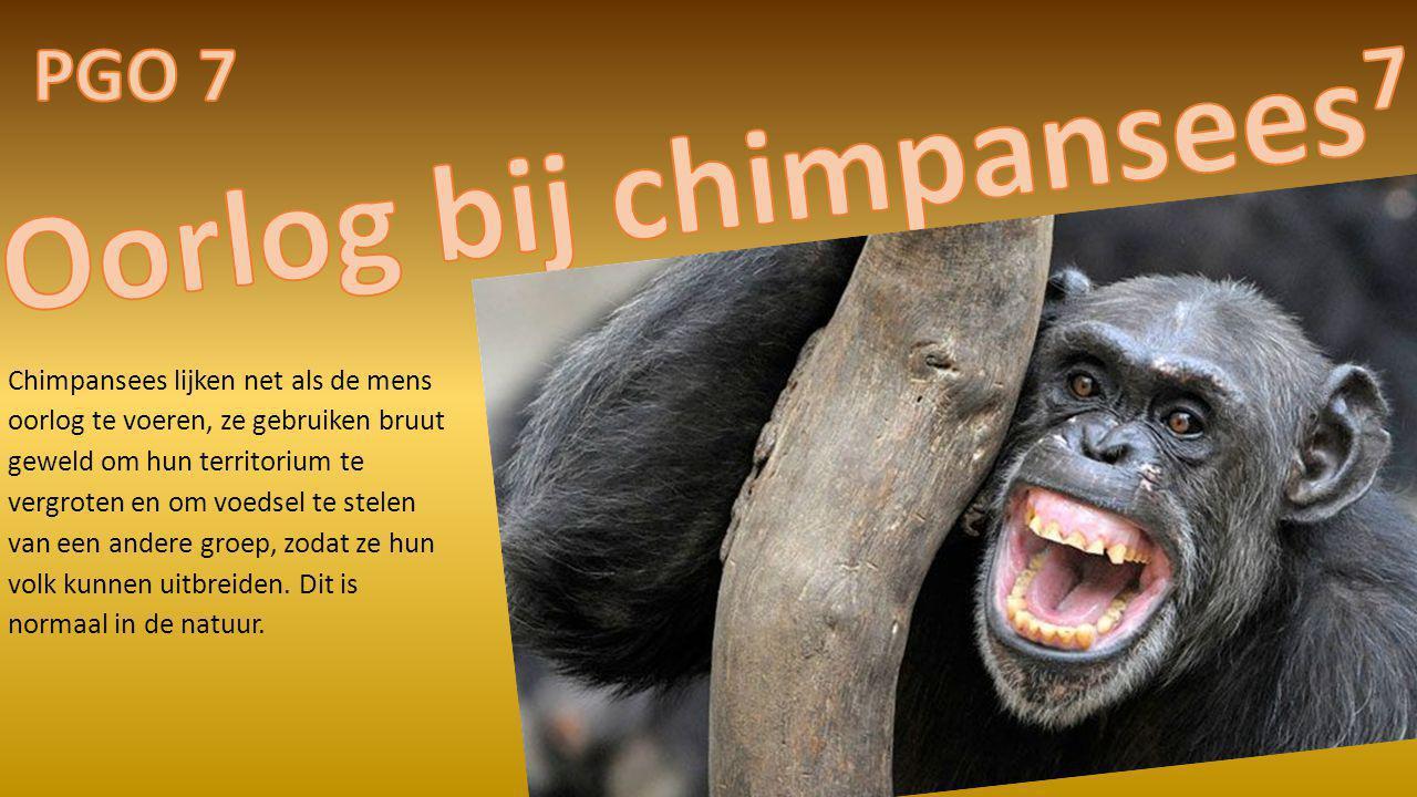 Chimpansees lijken net als de mens oorlog te voeren, ze gebruiken bruut geweld om hun territorium te vergroten en om voedsel te stelen van een andere