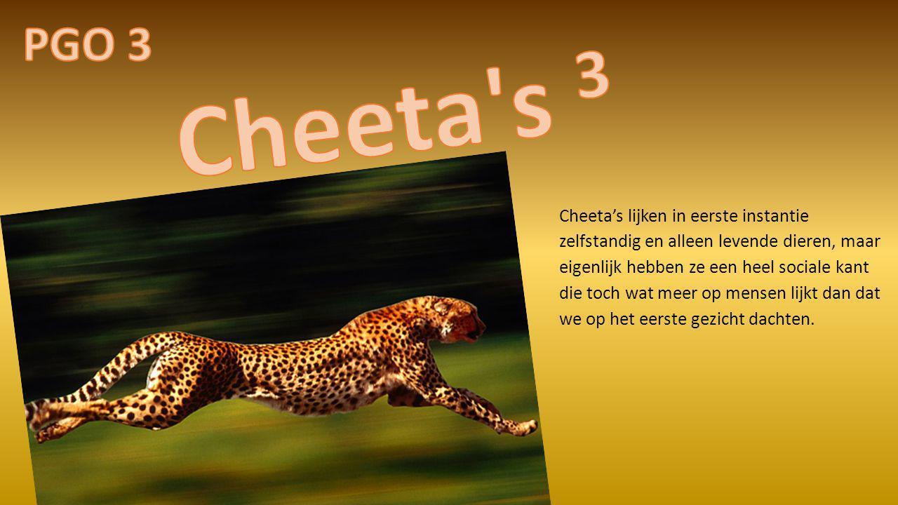Cheeta's lijken in eerste instantie zelfstandig en alleen levende dieren, maar eigenlijk hebben ze een heel sociale kant die toch wat meer op mensen l