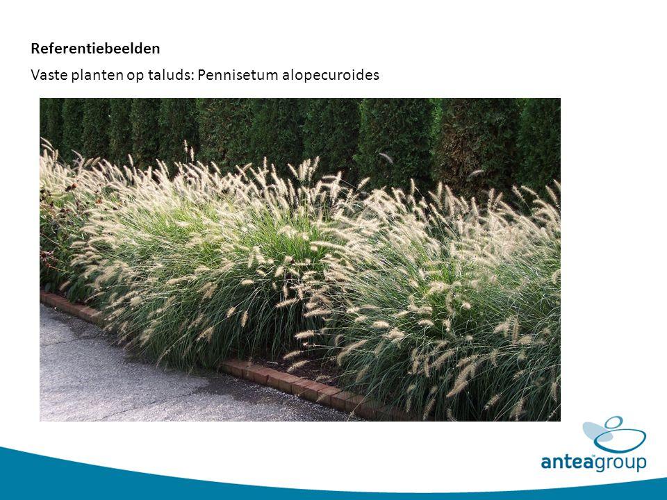 Vaste planten op taluds: Pennisetum alopecuroides Referentiebeelden