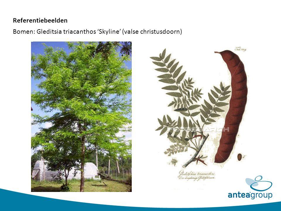 Bomen: Gleditsia triacanthos 'Skyline' (valse christusdoorn) Referentiebeelden
