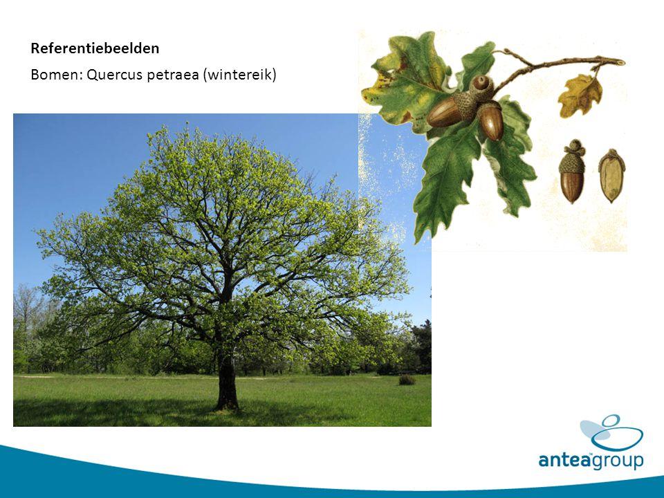 Bomen: Quercus petraea (wintereik) Referentiebeelden
