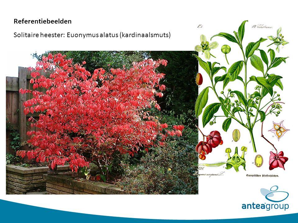 Solitaire heester: Euonymus alatus (kardinaalsmuts)