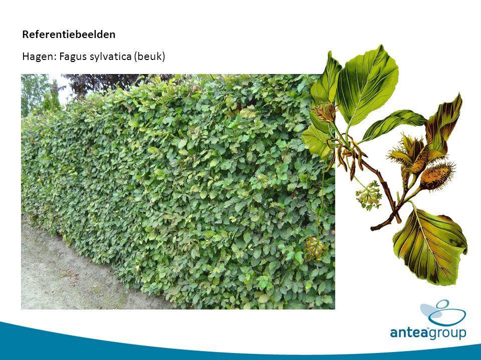 Referentiebeelden Hagen: Fagus sylvatica (beuk)