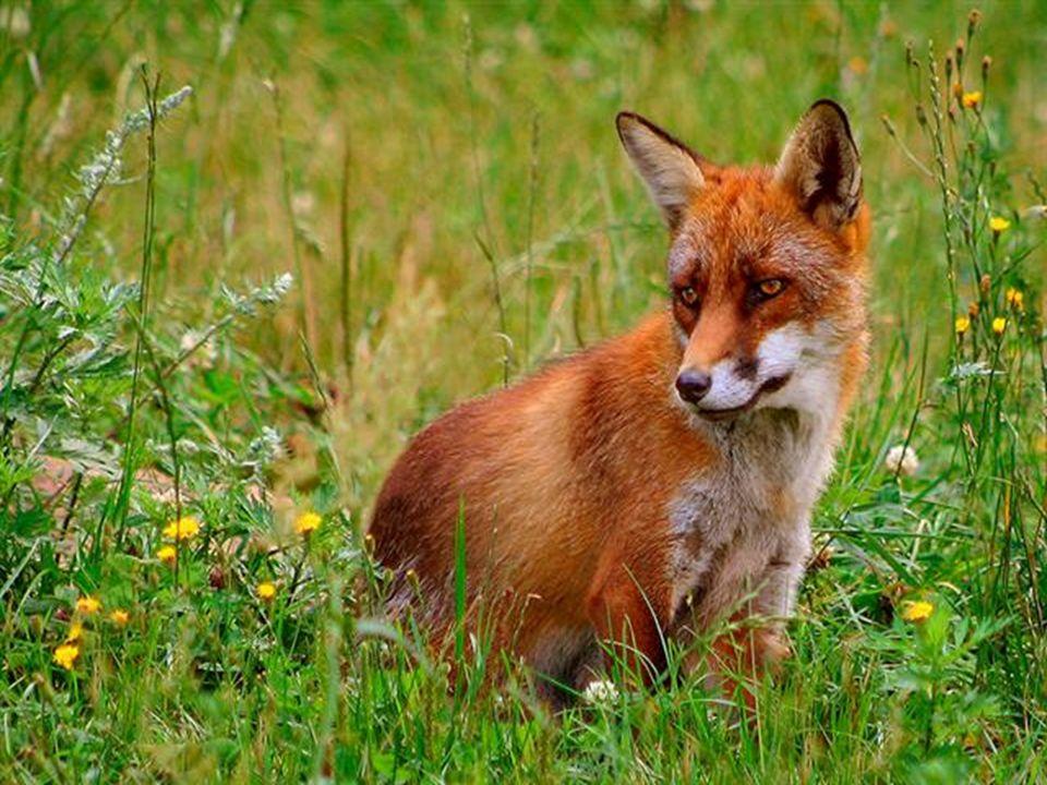 made by tillygemaakt voor: www.powerpointsite-bep.nl Vossen leven in Nederland in de duinen en in bosrijke gebieden.