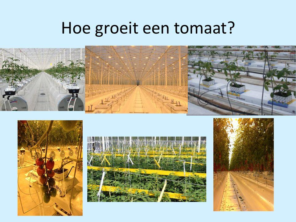 Hoe groeit een tomaat?