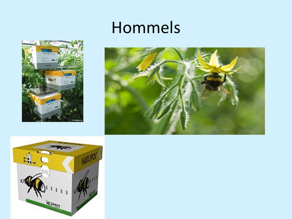 Hommels