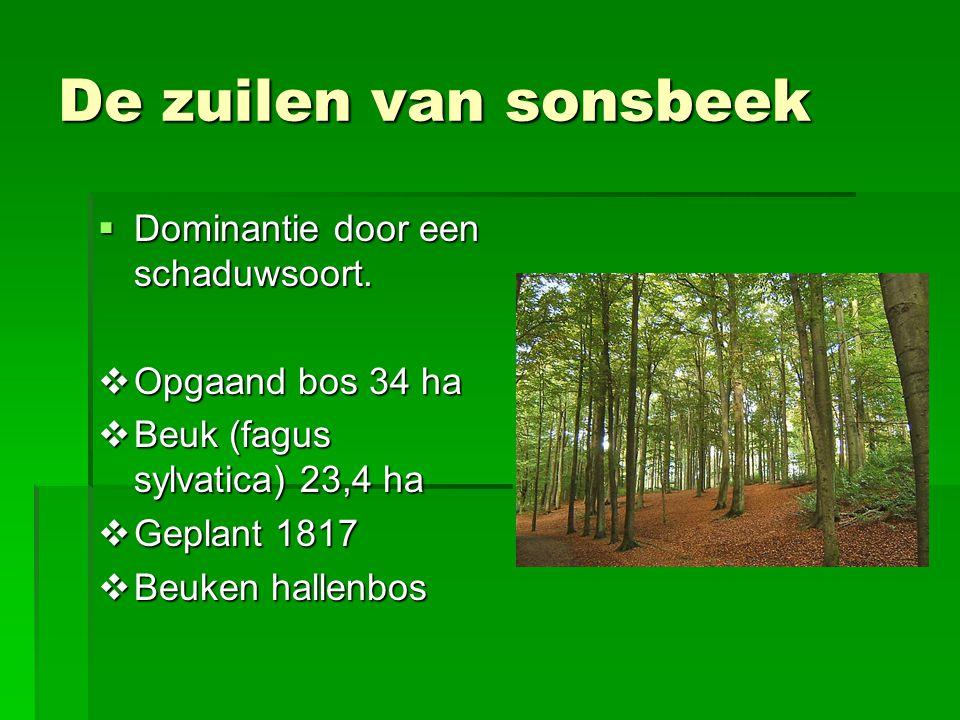 De zuilen van sonsbeek  Dominantie door een schaduwsoort.  Opgaand bos 34 ha  Beuk (fagus sylvatica) 23,4 ha  Geplant 1817  Beuken hallenbos