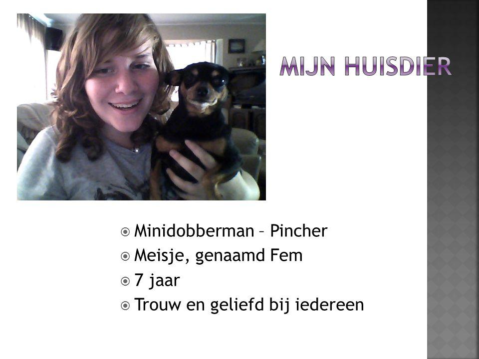  Minidobberman – Pincher  Meisje, genaamd Fem  7 jaar  Trouw en geliefd bij iedereen