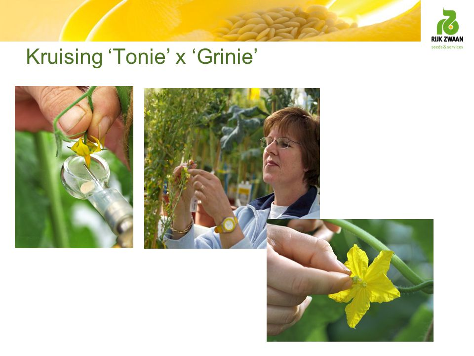 Kruising 'Tonie' x 'Grinie'