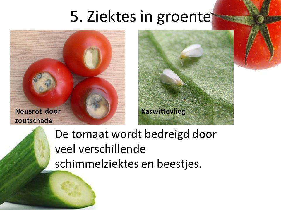 5. Ziektes in groente De tomaat wordt bedreigd door veel verschillende schimmelziektes en beestjes. Neusrot door zoutschade Kaswittevlieg
