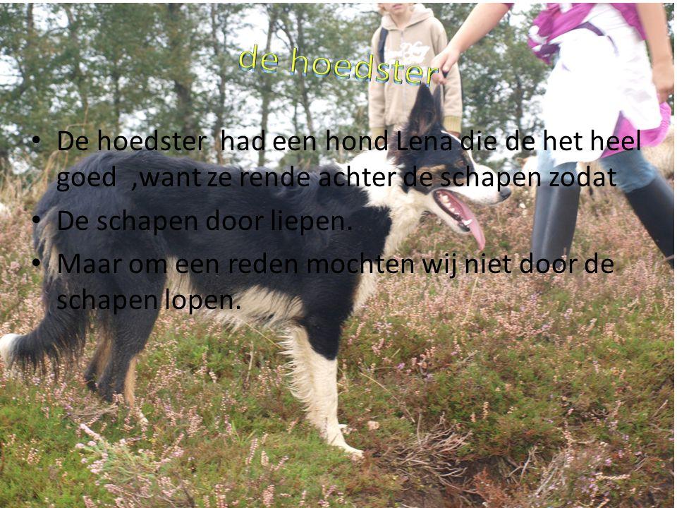 De hoedster had een hond Lena die de het heel goed,want ze rende achter de schapen zodat De schapen door liepen.