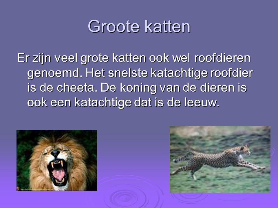 Groote katten Er zijn veel grote katten ook wel roofdieren genoemd. Het snelste katachtige roofdier is de cheeta. De koning van de dieren is ook een k