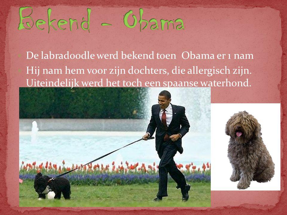 De labradoodle werd bekend toen Obama er 1 nam Hij nam hem voor zijn dochters, die allergisch zijn.