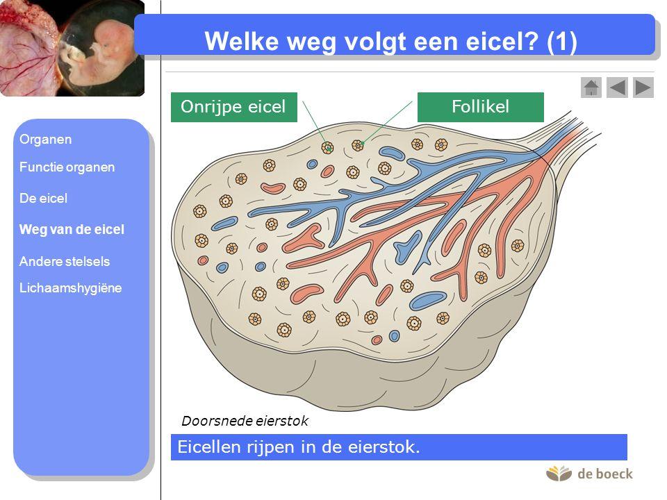 Welke weg volgt een eicel.(1) Doorsnede eierstok Onrijpe eicel Eicellen rijpen in de eierstok.