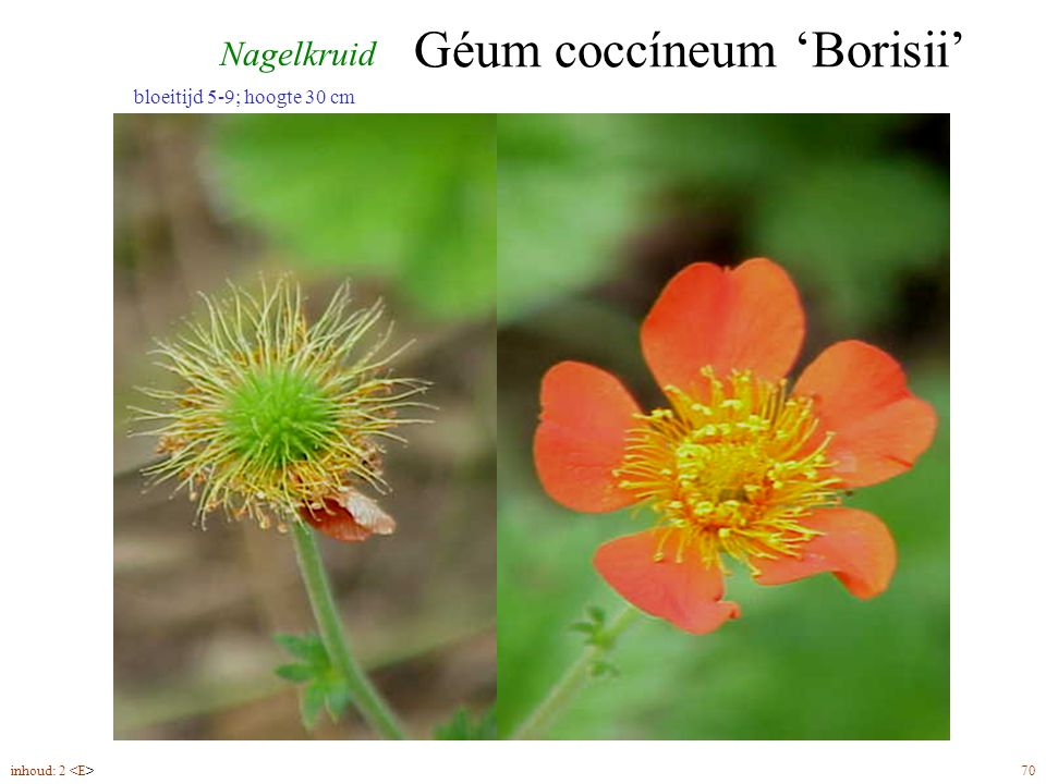 Géum coccíneum 'Borisii' inhoud: 2 70 bloeitijd 5-9; hoogte 30 cm Nagelkruid