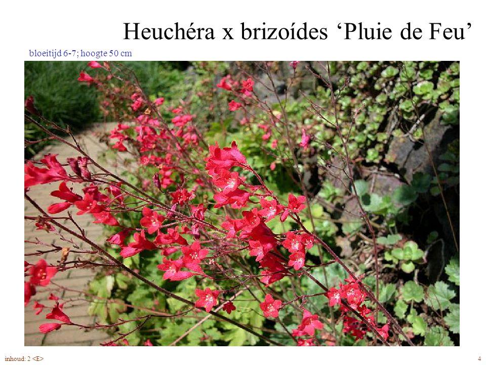 Heuchéra x brizoídes 'Pluie de Feu' 4inhoud: 2 bloeitijd 6-7; hoogte 50 cm