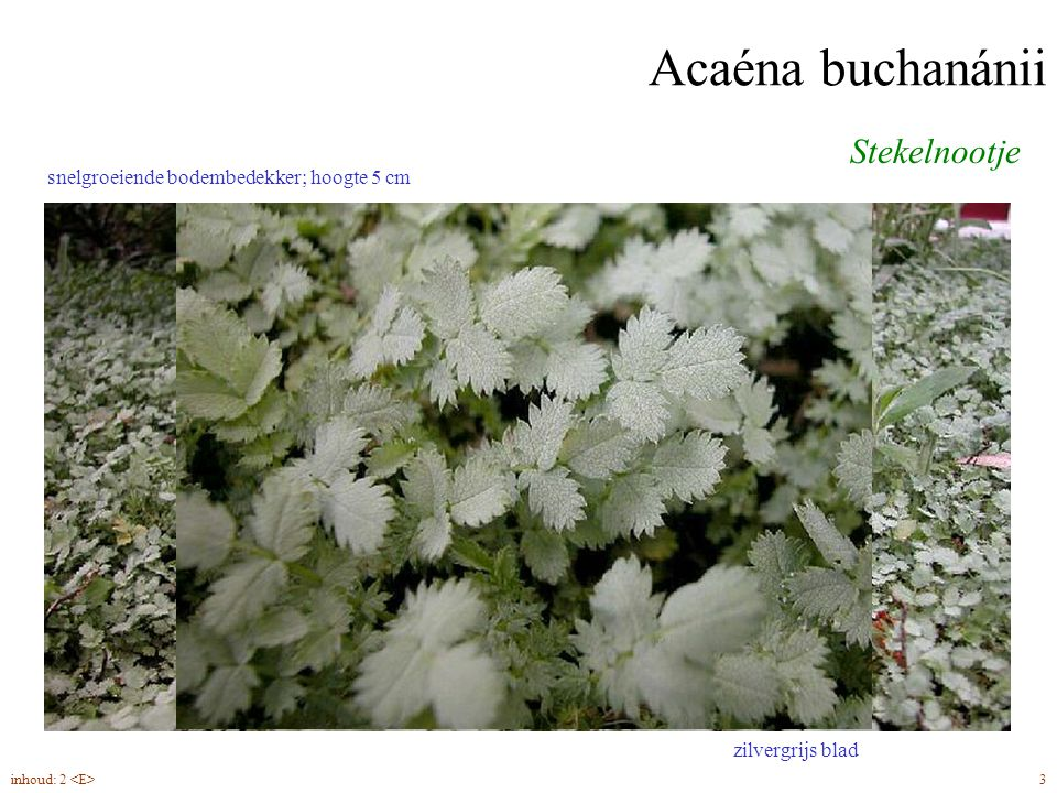 Acaéna buchanánii Stekelnootje 3inhoud: 2 snelgroeiende bodembedekker; hoogte 5 cm zilvergrijs blad