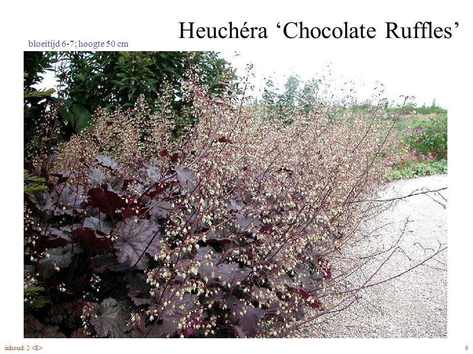 Heuchéra 'Chocolate Ruffles' 6inhoud: 2 bloeitijd 6-7; hoogte 50 cm