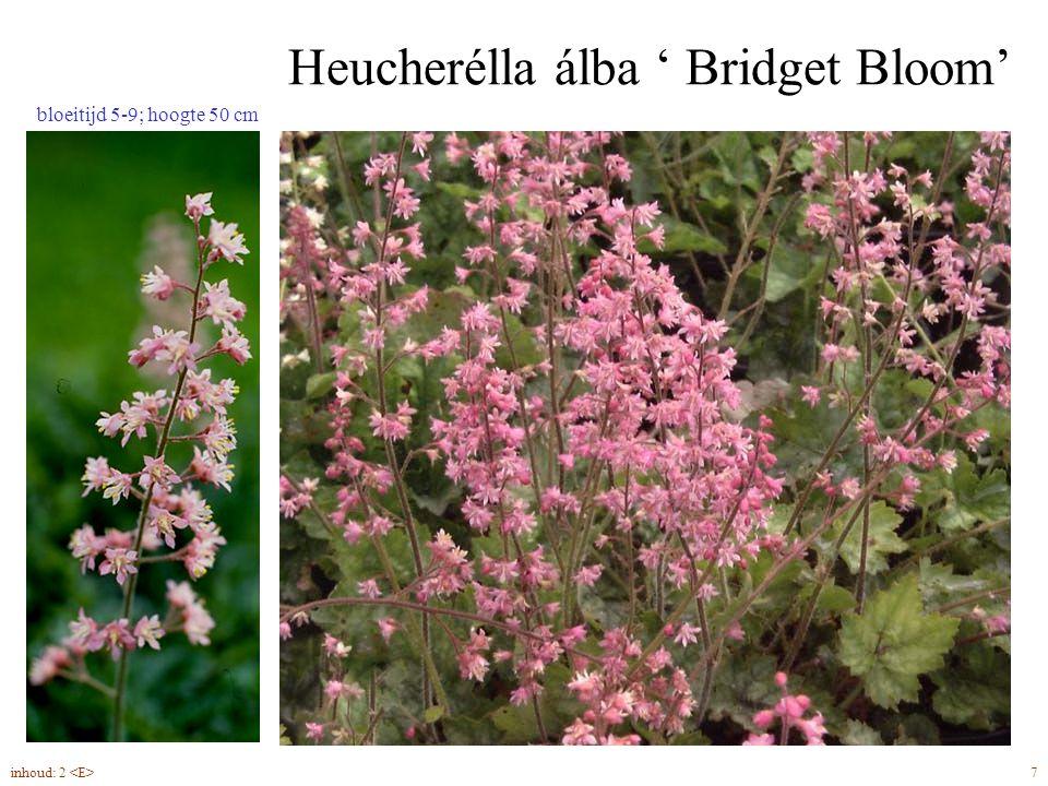 Heucherélla álba ' Bridget Bloom' 7inhoud: 2 bloeitijd 5-9; hoogte 50 cm