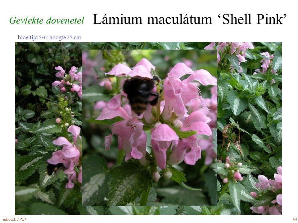 Lámium maculátum 'Shell Pink' 64inhoud: 2 bloeitijd 5-6; hoogte 25 cm Gevlekte dovenetel