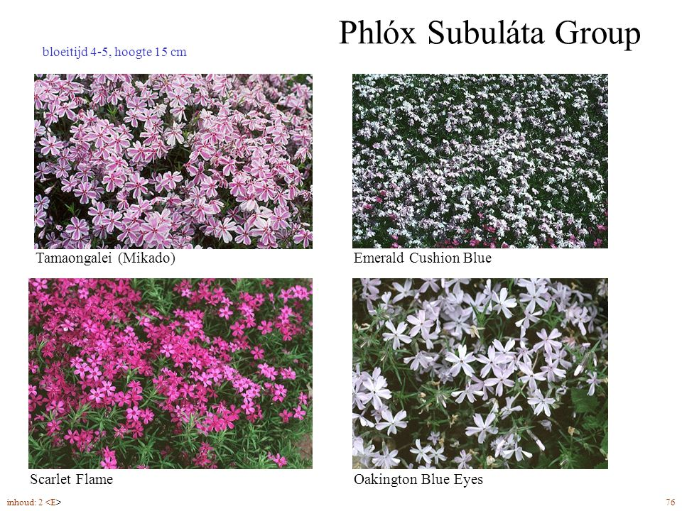 Phlóx Subuláta Group inhoud: 2 76 bloeitijd 4-5, hoogte 15 cm Oakington Blue Eyes Tamaongalei (Mikado)Emerald Cushion Blue Scarlet Flame