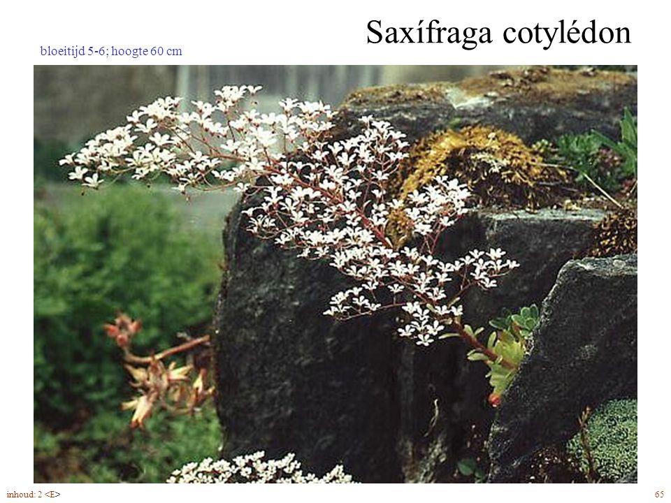 Saxífraga cotylédon inhoud: 2 65 bloeitijd 5-6; hoogte 60 cm
