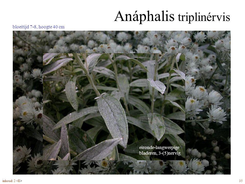 Anáphalis triplinérvis bloeitijd 7-8, hoogte 40 cm inhoud: 2 35 eironde-langwerpige bladeren, 3-(5)nervig