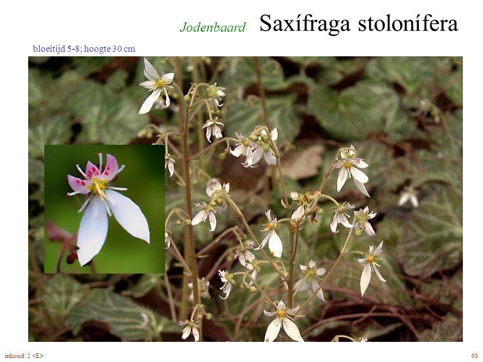 Saxífraga stolonífera inhoud: 2 68 bloeitijd 5-8; hoogte 30 cm Jodenbaard