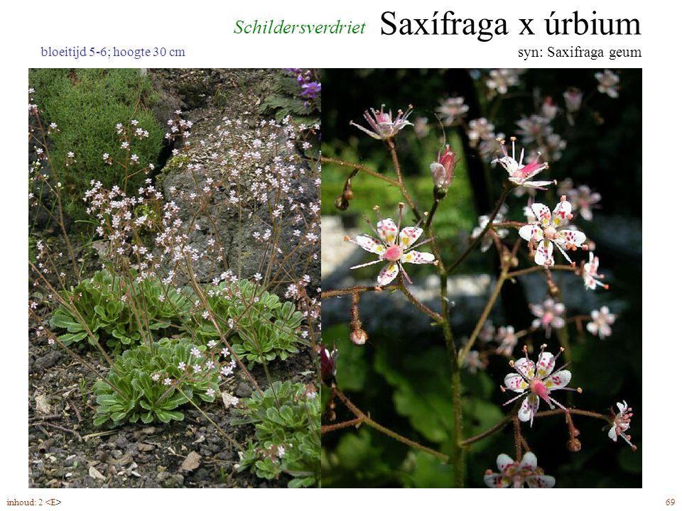 Saxífraga x úrbium syn: Saxifraga geum inhoud: 2 69 bloeitijd 5-6; hoogte 30 cm Schildersverdriet