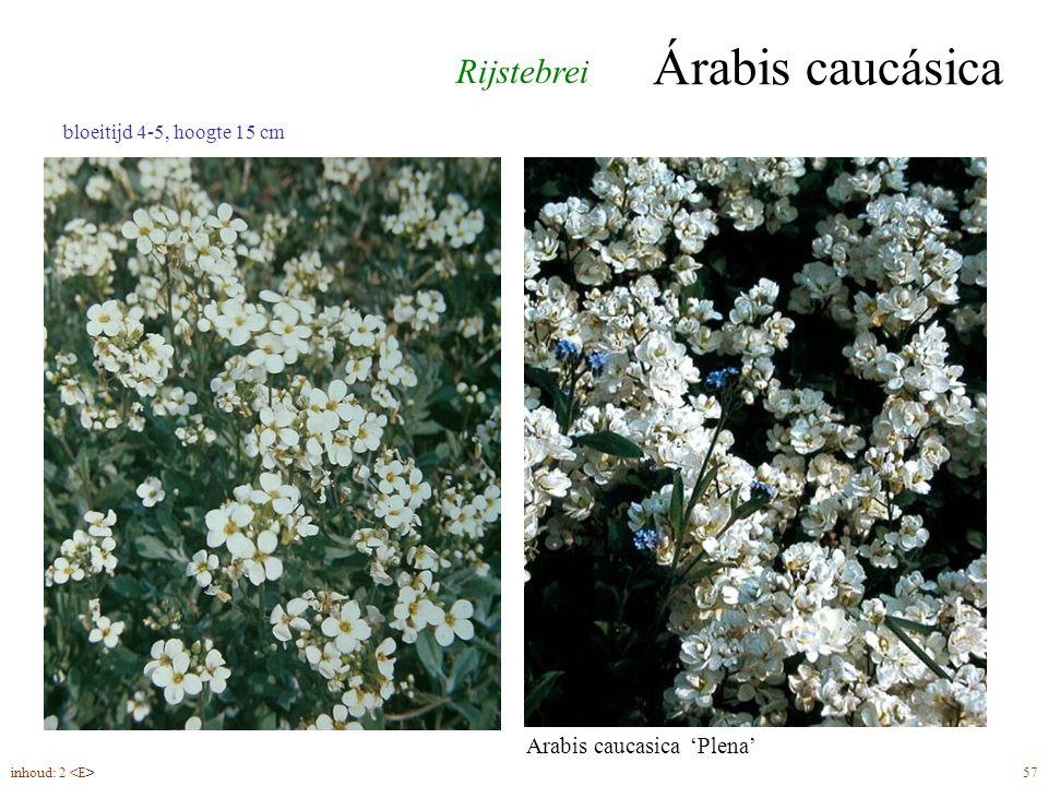 Árabis caucásica bloeitijd 4-5, hoogte 15 cm inhoud: 2 57 Rijstebrei Arabis caucasica 'Plena'