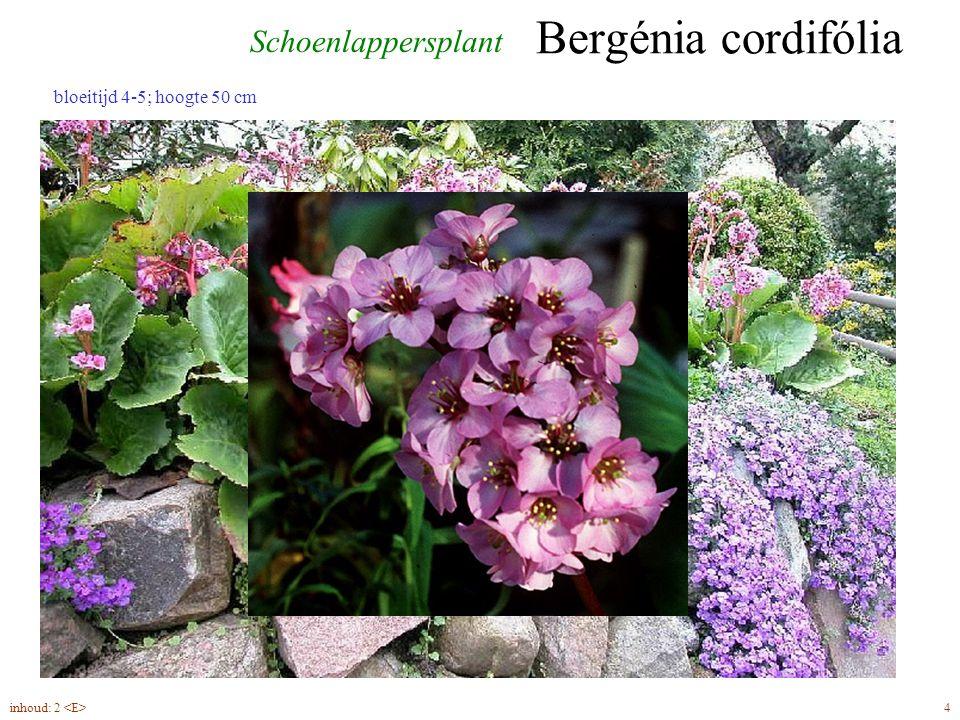 Pachysándra terminális inhoud: 2 50 bloeitijd 4-5, hoogte 20 cm Pachysandra terminalis 'Variegata'