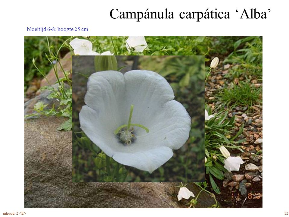 Campánula carpática 'Alba' 12inhoud: 2 bloeitijd 6-8; hoogte 25 cm