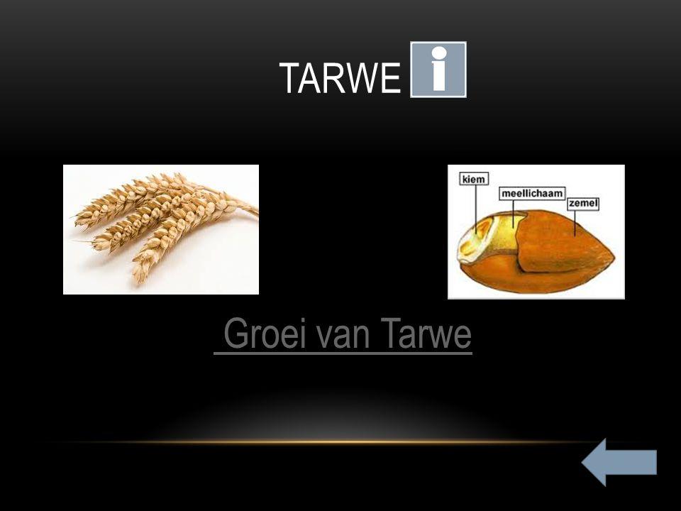TARWE peren Groei van Tarwe