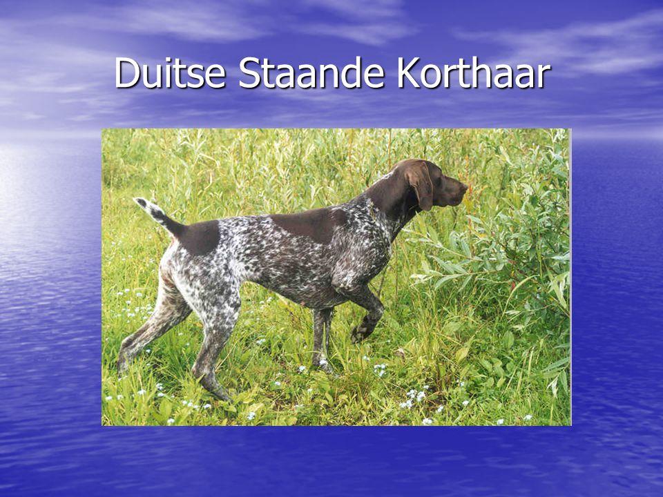 Duitse Staande Korthaar