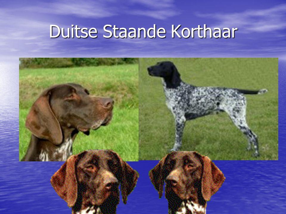 Duitse Staande Hond Langhaar