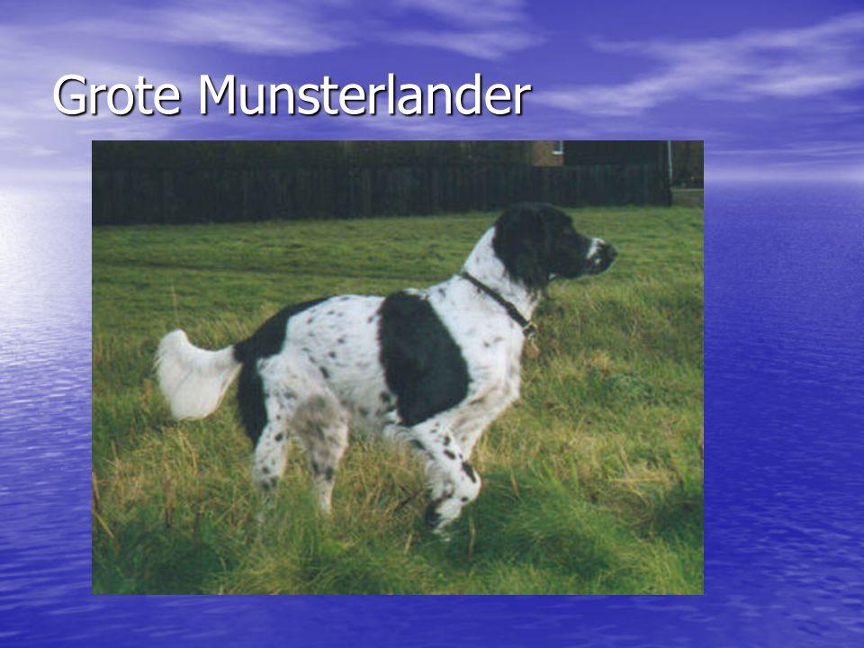 Grote Munsterlander