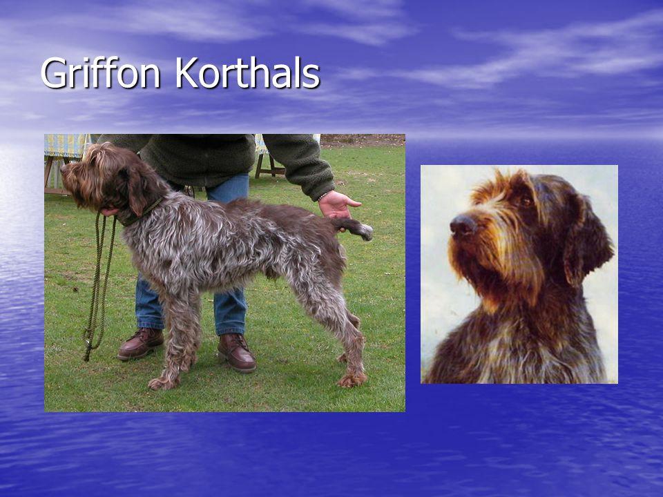 Griffon Korthals
