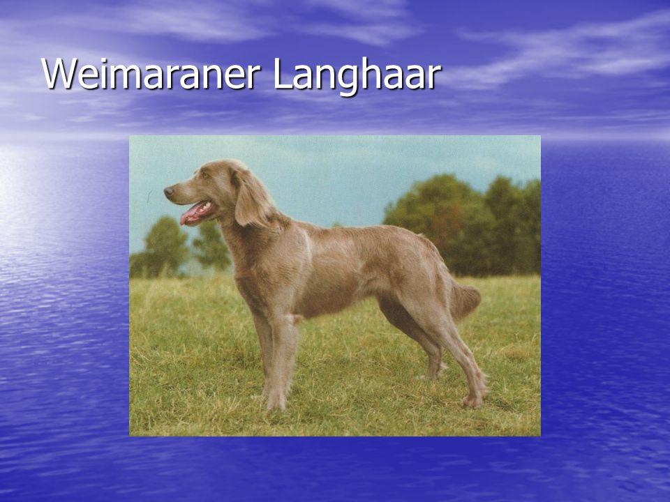 Weimaraner Langhaar