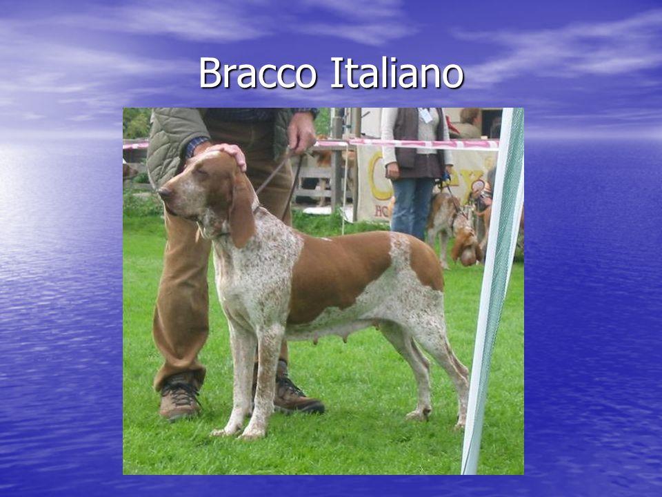 Bracco Italiano