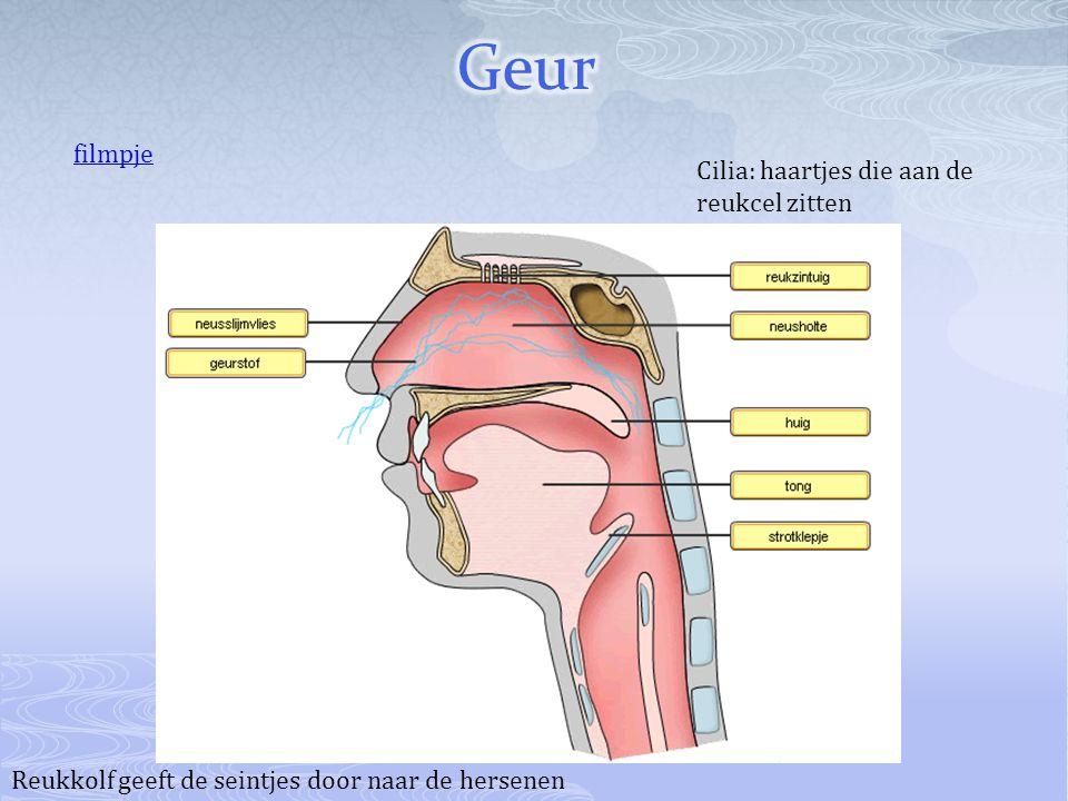 Reukkolf geeft de seintjes door naar de hersenen Cilia: haartjes die aan de reukcel zitten filmpje