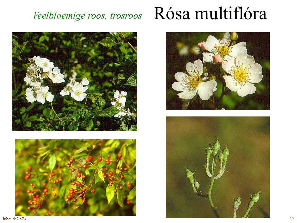 Rósa multiflóra Veelbloemige roos, trosroos 32inhoud: 2