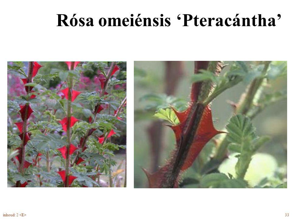 Rósa omeiénsis 'Pteracántha' 33inhoud: 2