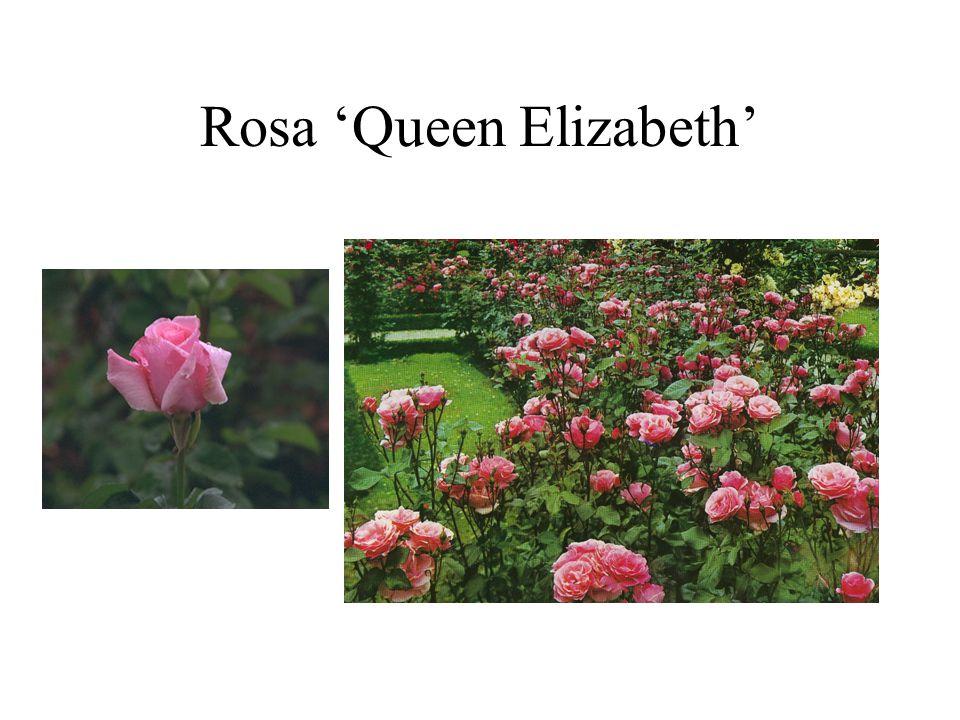 Rosa 'Queen Elizabeth'
