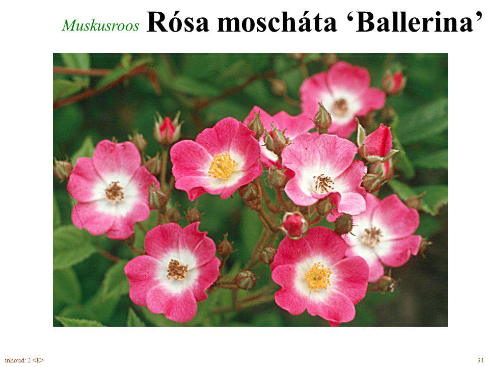 Rósa moscháta 'Ballerina' Muskusroos 31inhoud: 2