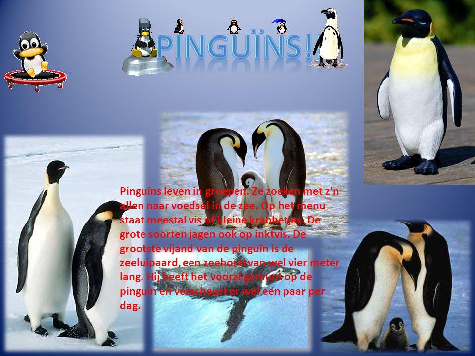 Pinguïns leven in groepen. Ze zoeken met z'n allen naar voedsel in de zee. Op het menu staat meestal vis of kleine krabbetjes. De grote soorten jagen